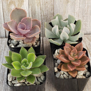 2 inch assorted succulents 4 pack - Planet Desert