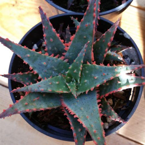 Aloe christmas sleigh - Planet Desert