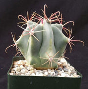 Ferocactus gracilis v. coloratus - Planet Desert