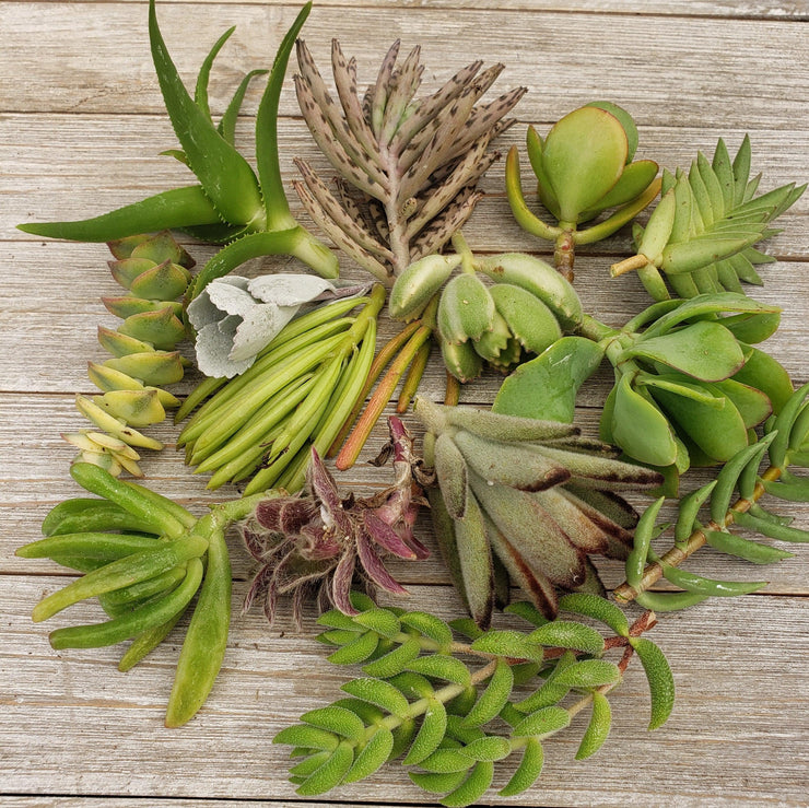 30 Assorted Succulents Cuttings - Planet Desert