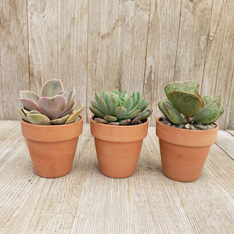 3- 2.5 inch succulents in terracotta pots