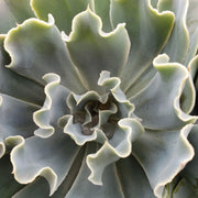 Echeveria Blue Frills - Planet Desert