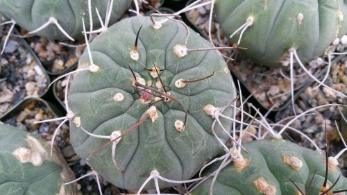 Matucana madisoniorum - Planet Desert