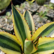 Agave lophanta quadricolor - Planet Desert