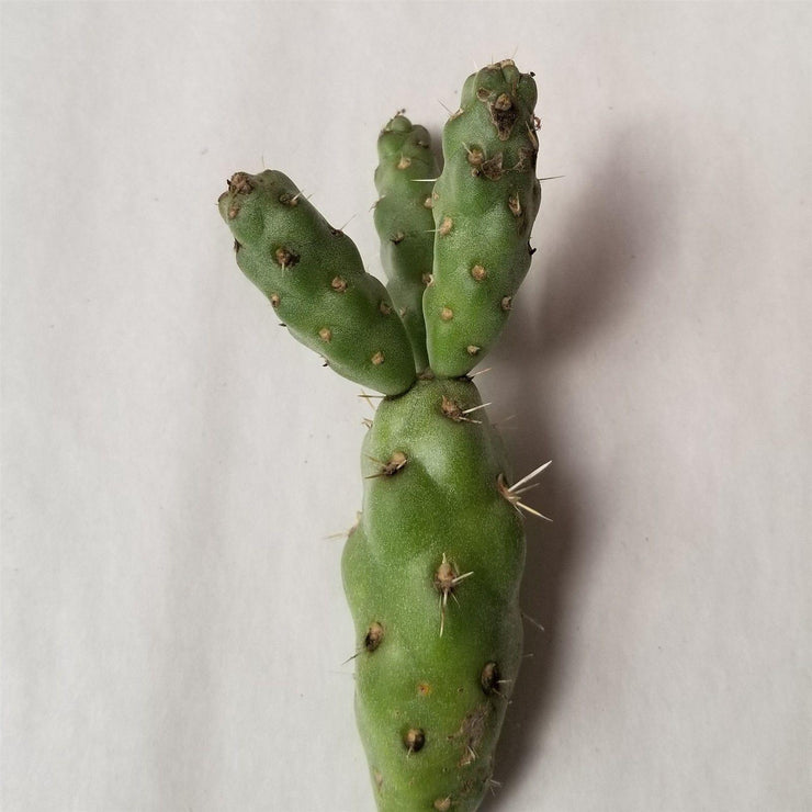 Cylindropuntia Imbricata cholla unrooted cuttings - Planet Desert