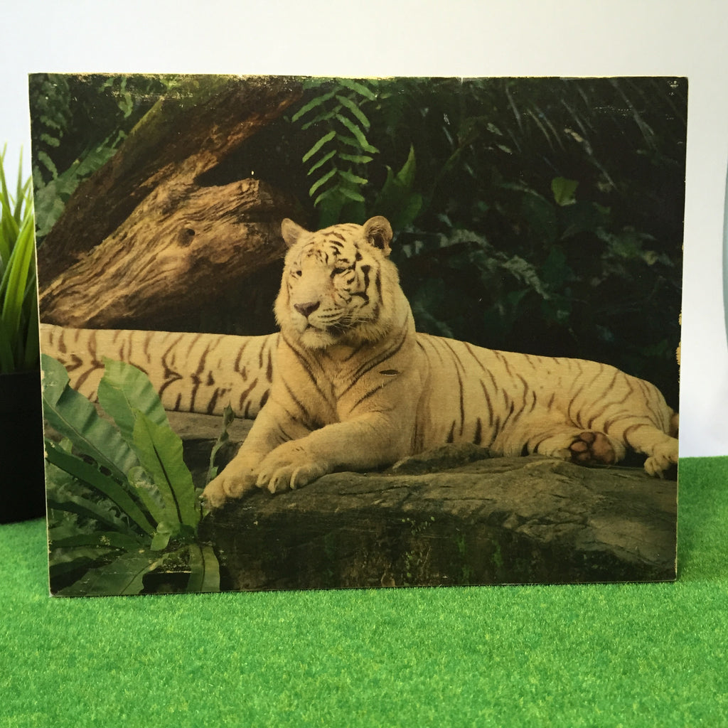 White Tiger From Singapore Zoo