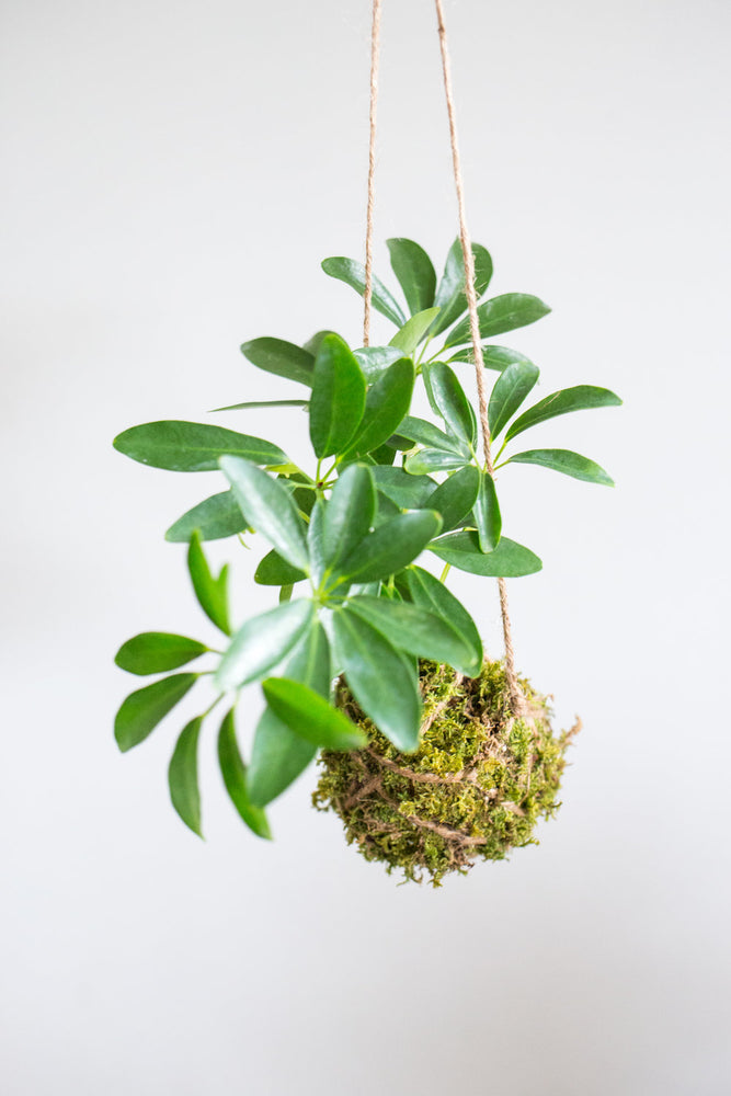 Kokedama Ball, Umbrella Plant