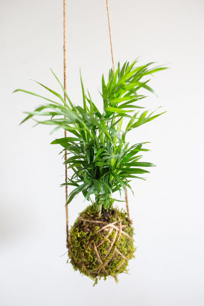 Kokedama Ball, Bella Palm
