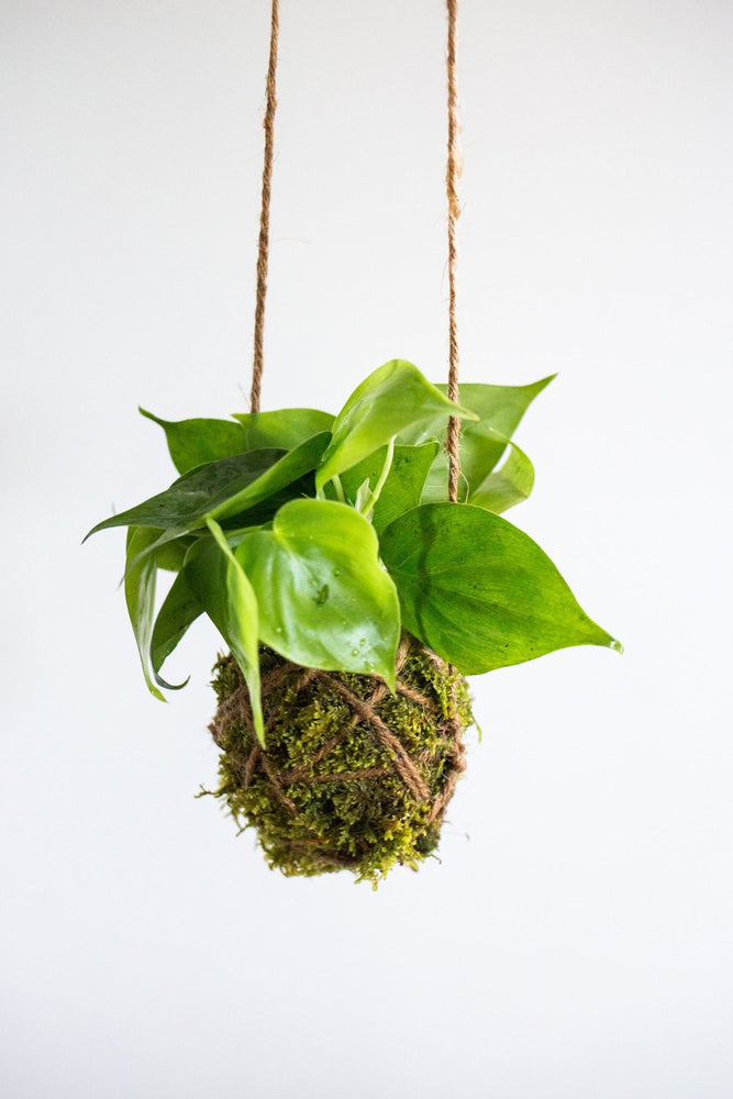 Kokedama Ball, Philodendron
