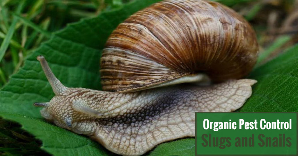 Greenhouse Gardening Organic Pest Control – Slugs and Snails