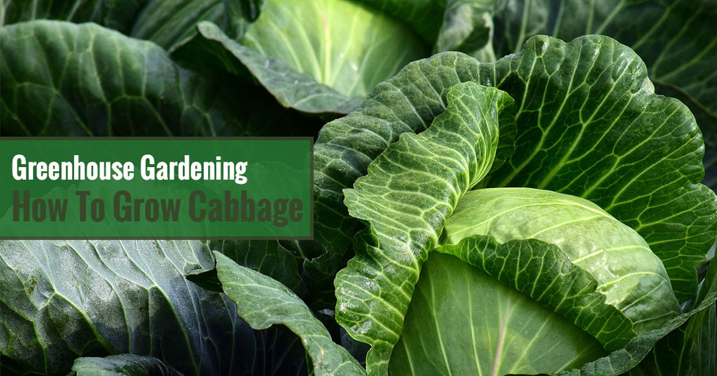 Greenhouse Gardening – How to Grow Cabbage?
