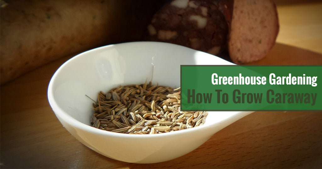 Greenhouse Gardening – How to Grow Caraway?