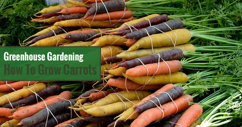 Greenhouse Gardening - How To Grow Carrots?