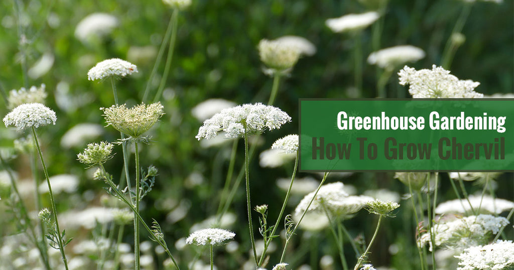 Greenhouse Gardening – How to Grow Chervil?