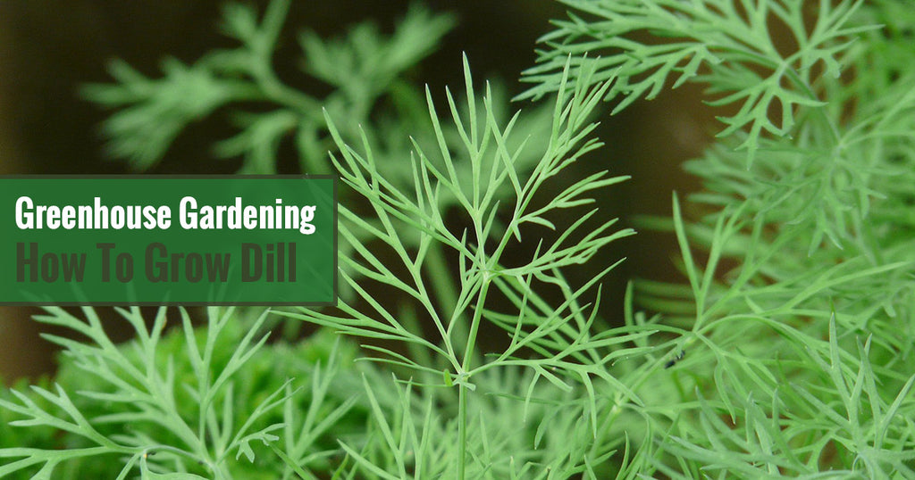 Greenhouse Gardening – How to Grow Dill?