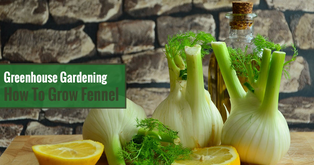 Greenhouse Gardening – How to Grow Fennel?
