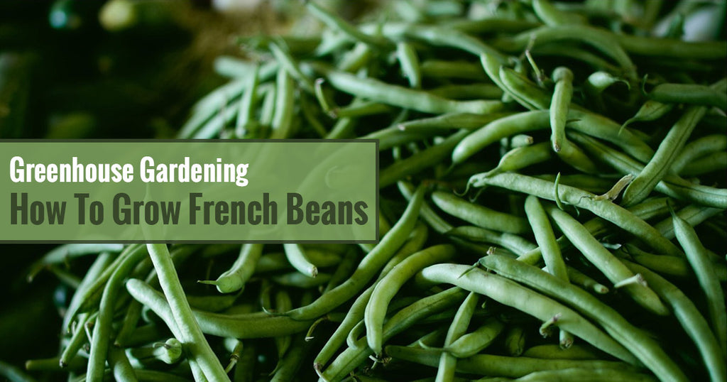Greenhouse Gardening – How to Grow French Beans?