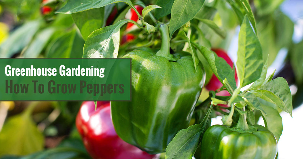Greenhouse Gardening - How to Grow Peppers?