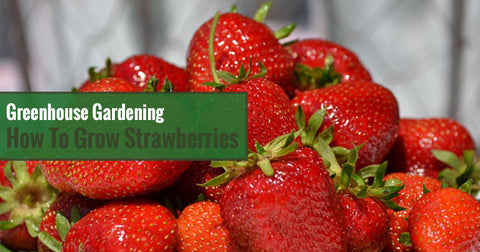 Greenhouse Gardening – How to Grow Strawberries?