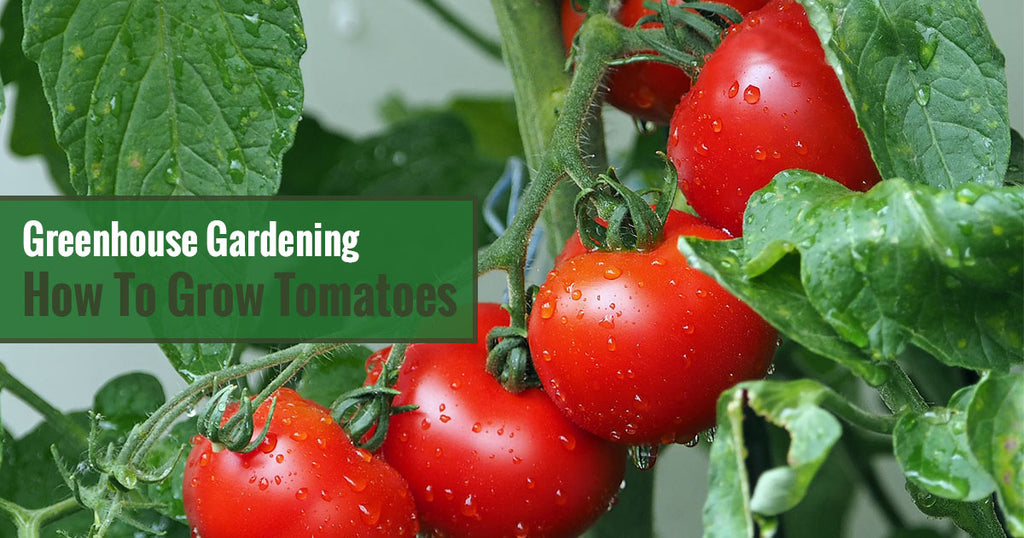 Greenhouse Gardening - How to Grow Tomatoes?