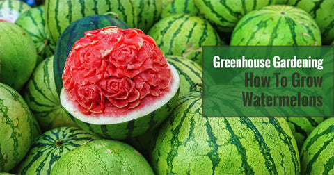Greenhouse Gardening – How To Grow Watermelons