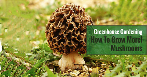 Greenhouse Gardening - How to Grow Morel Mushrooms