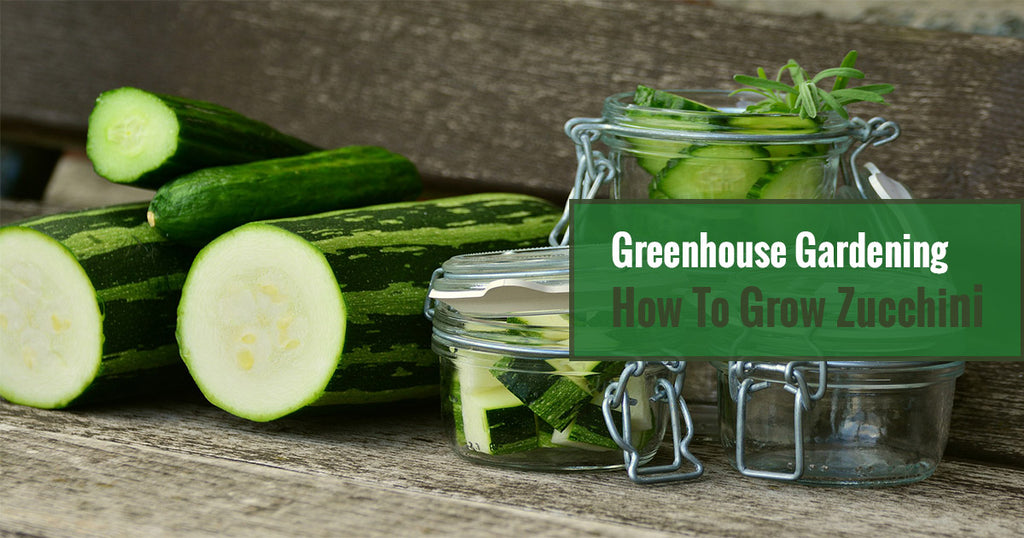 Greenhouse Gardening – How To Grow Zucchini?