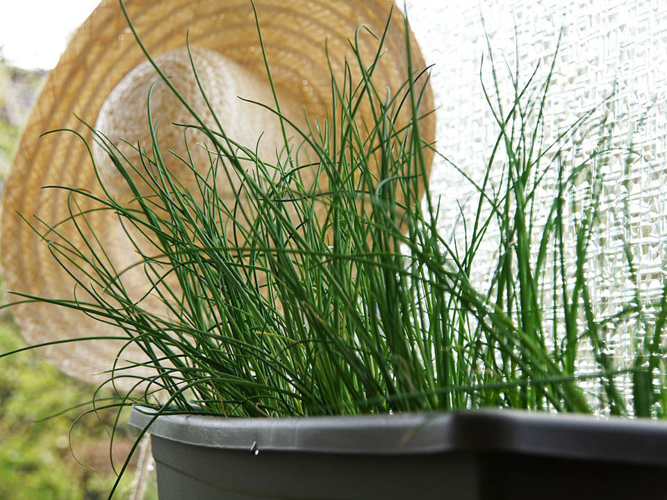 Chives planted in a pot