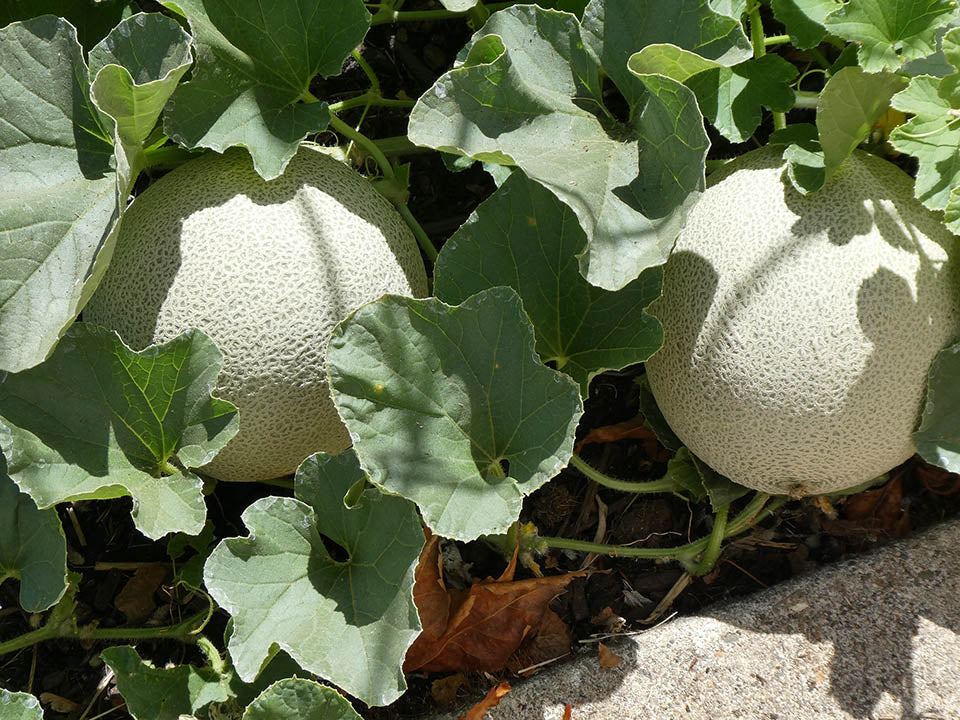Two cantaloupe fruits that are ready to harvest