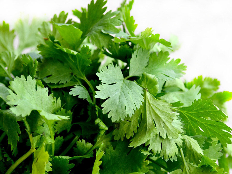 A bunch of green cilantro leaves