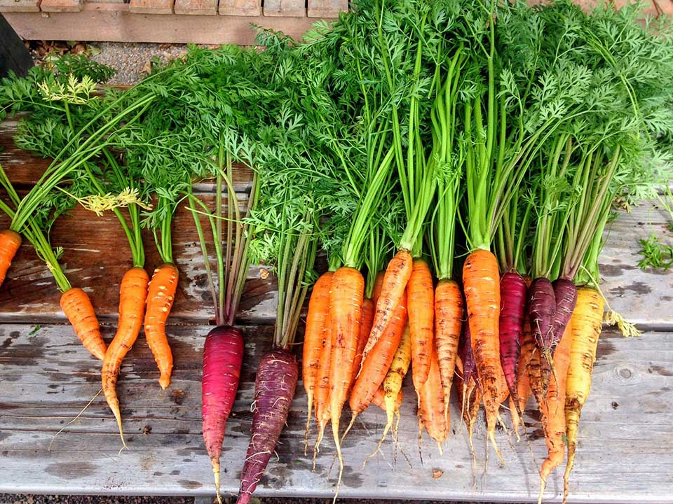 Harvested several species of carrots