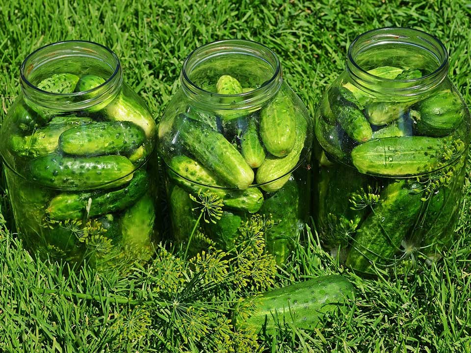 Harvested cucumbers placed in three separate clear jars