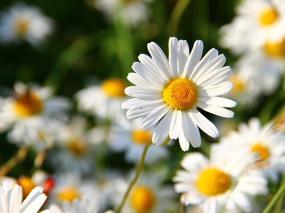 Blooming daisies planted in a garden