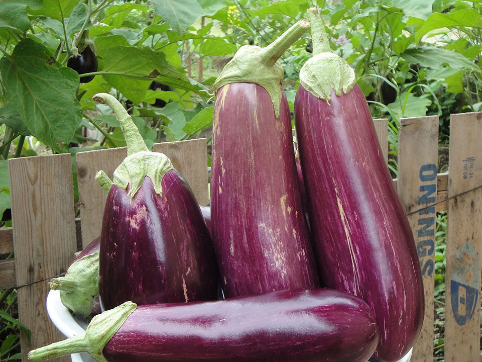 Four fresh eggplants with a garden background