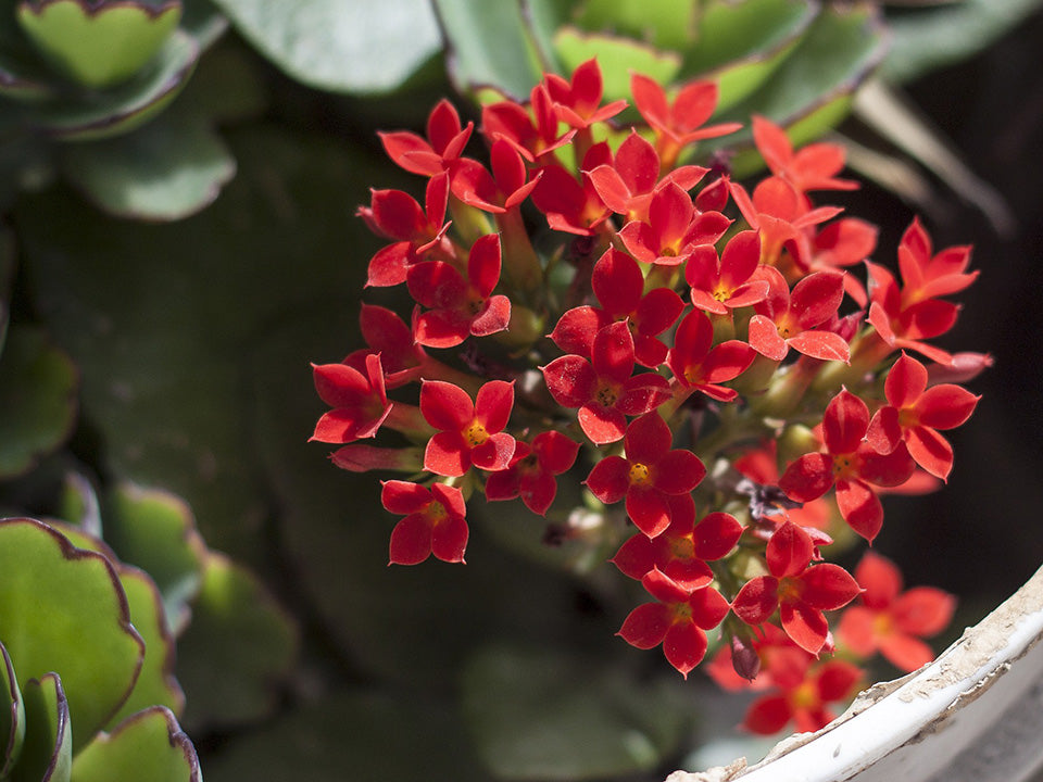 A bunch of red Kalanchoe blossfeldiana