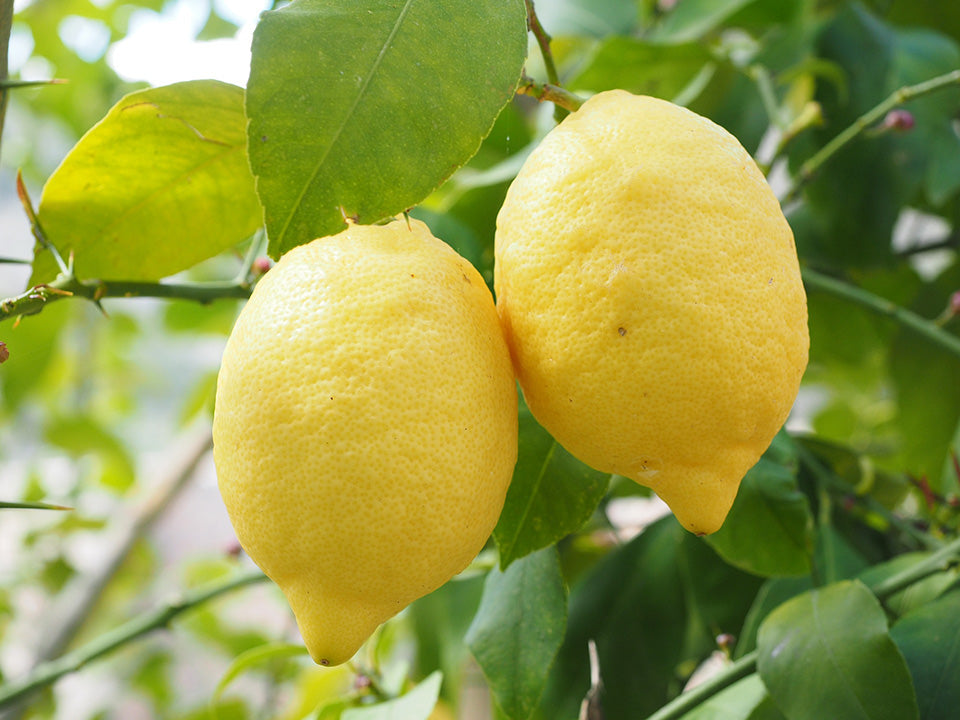 Two lemons attached to a stem