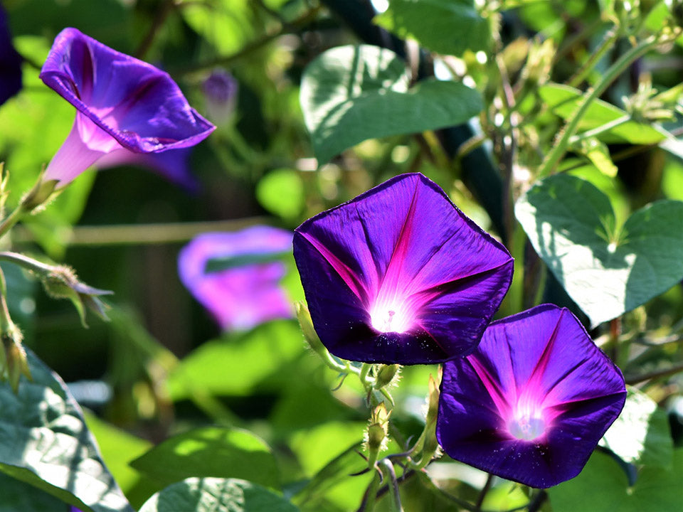 Planted Morning Glories in a Garden