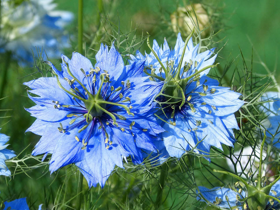 Blue Nigella or Love in a Mist Flowers