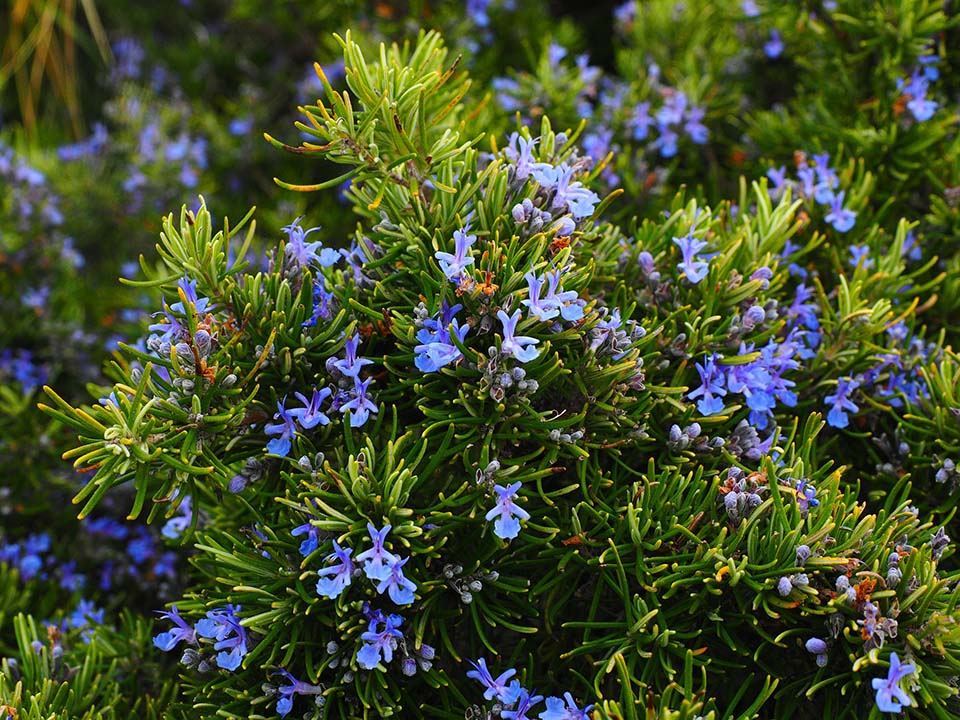Rosemary herb with purple flowers