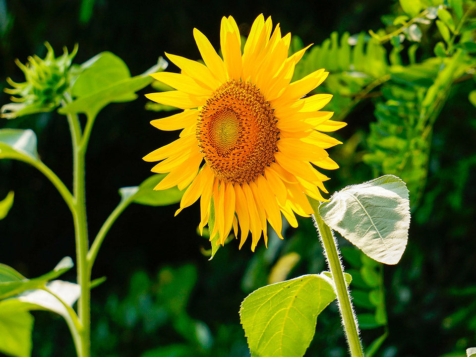 A planted blooming sunflower in the wild