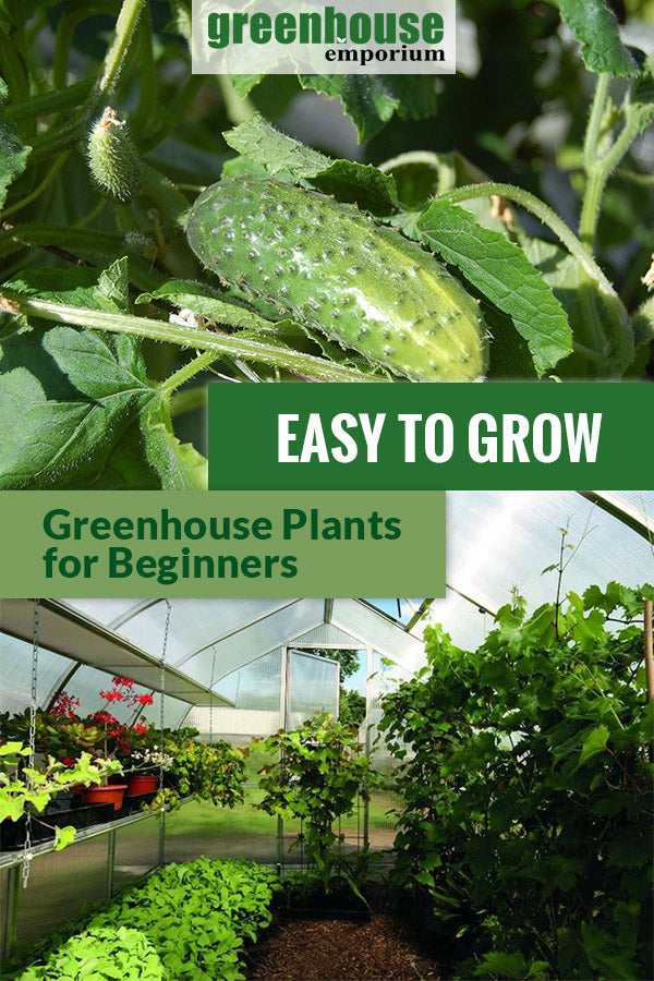 A picture of cucumber plant with a ripe cucumber and a greenhouse below filled with vegetables and flowers. The text in the middle says  Easy to Grow Greenhouse Plants for Beginners.