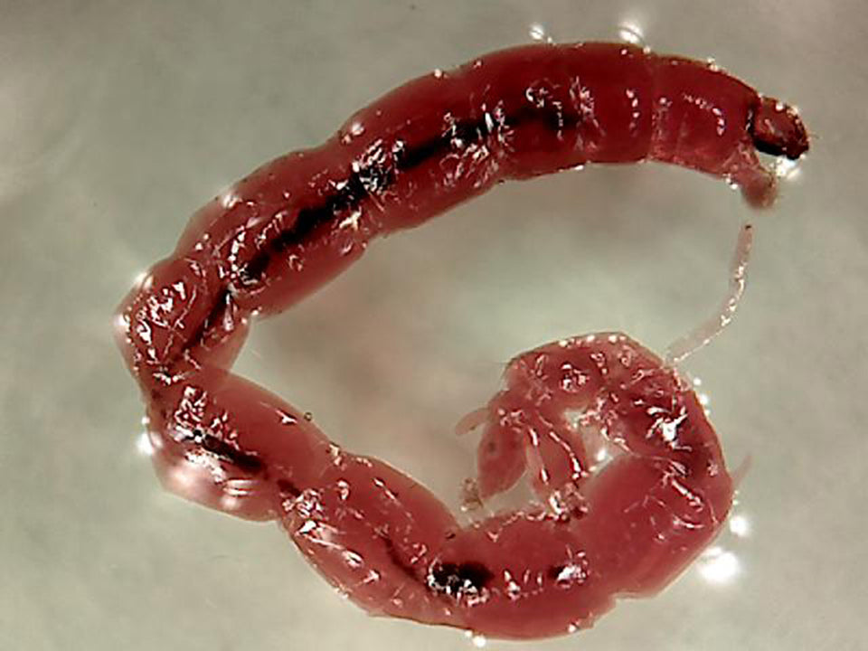 A bloodworm showing its pale transparent skin