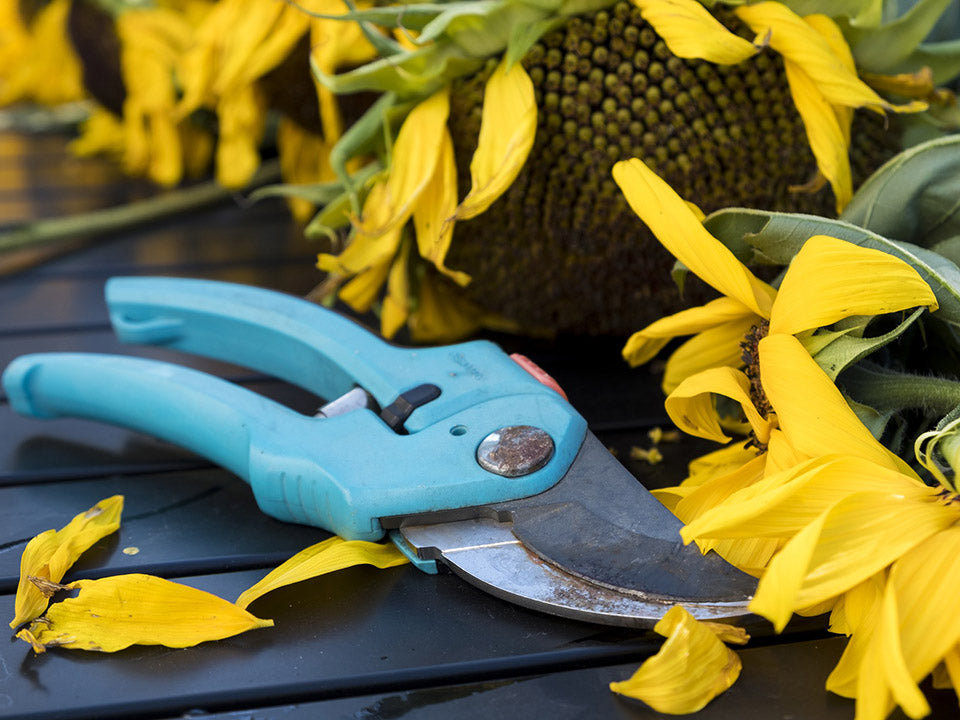 A blue pruning scissors used on sunflowers