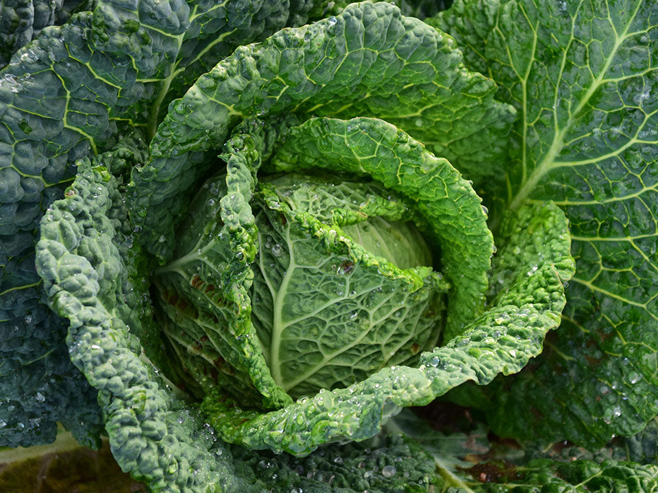 Green fresh cabbage from the greenhouse