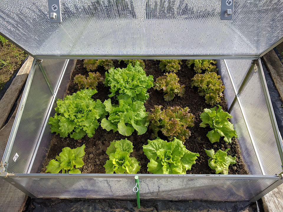 Lettuce plants growing in a cold frame greenhouse