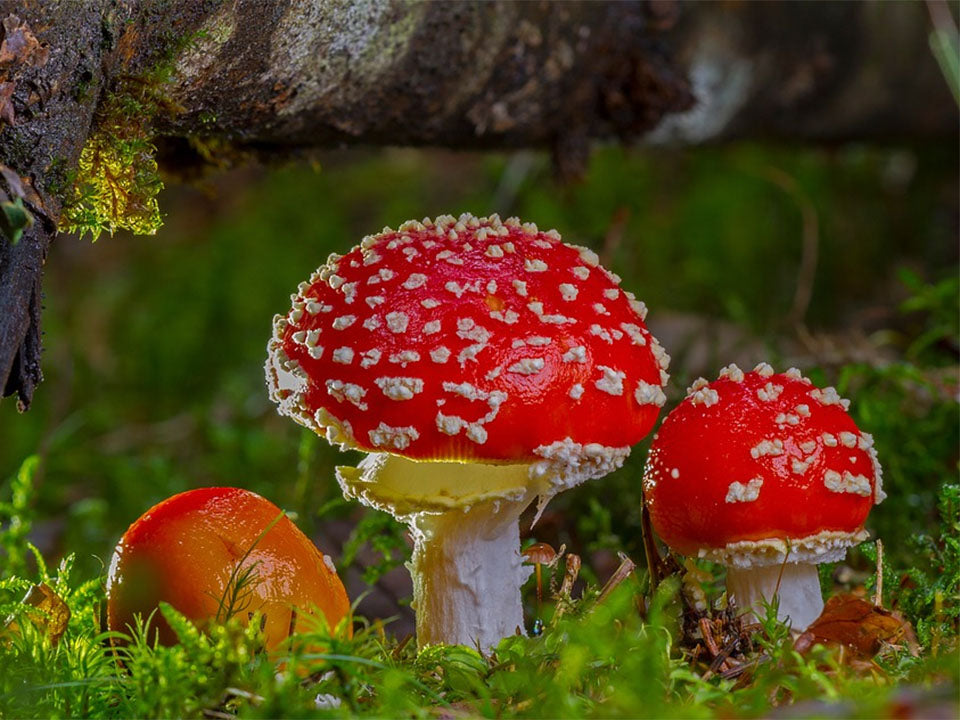 Three red fly agaric mushrooms on the ground