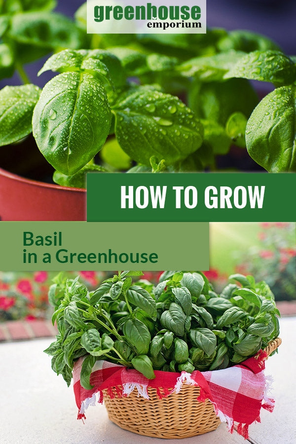 Basil plants with the text: How to grow basil in a greenhouse