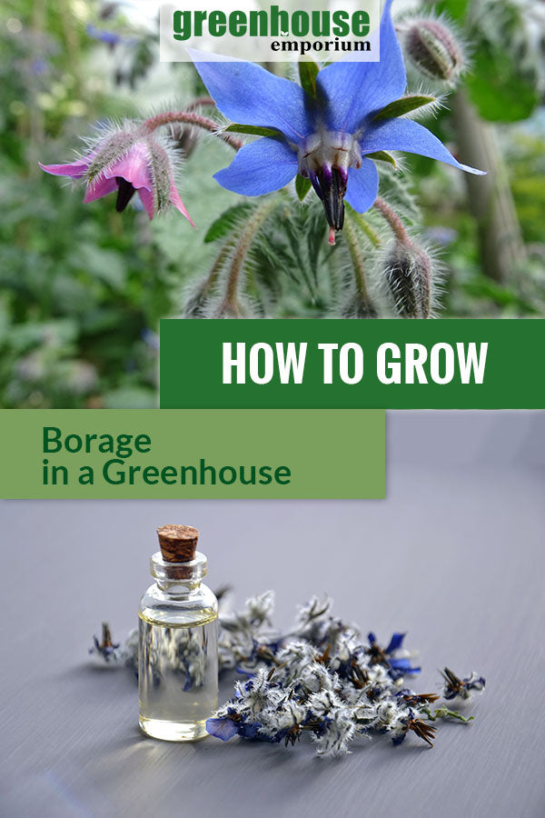 Image of the borage blossom and dried borage with the text: How to grow borage in a greenhouse