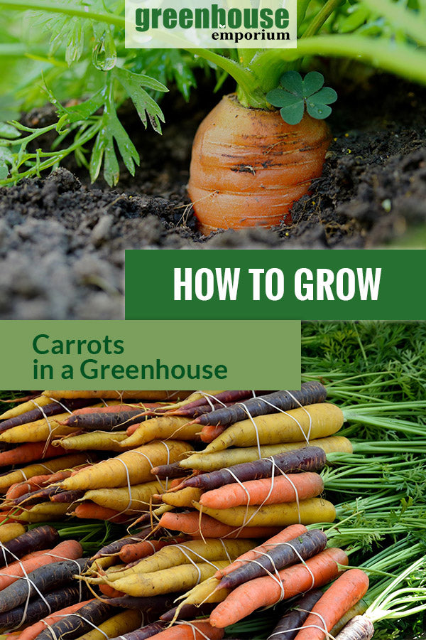 Planted carrot in soil and colorful varieties with the text: How to grow carrots in a greenhouse.