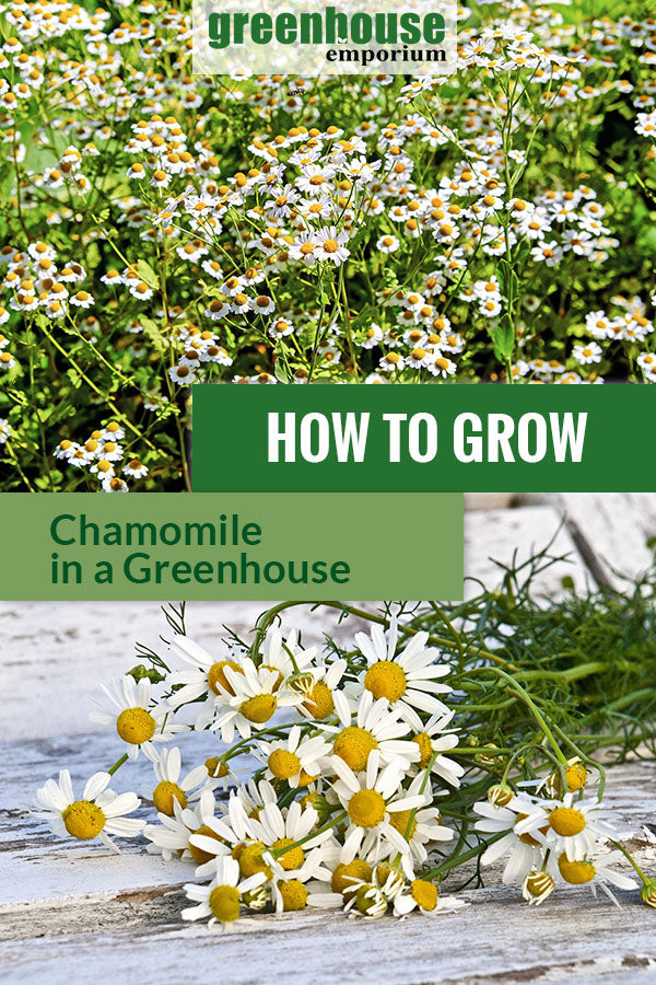 Chamomile plants with the text: How to grow chamomile in a greenhouse